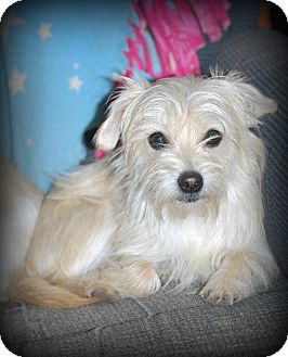 Yorkie, Yorkshire Terrier/Chihuahua Mix Dog for adoption in Jennings, Oklahoma - Levi