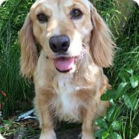 Adopt A Pet :: Kassidy - Sugarland, TX