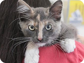 Domestic Mediumhair Kitten for adoption in Hawthorne, California - Petra