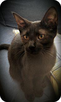 Siamese Kitten for adoption in Fairborn, Ohio - Irene