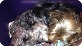 Yorkie, Yorkshire Terrier/Afghan Hound Mix Dog for adoption in Spring, Texas - Nina