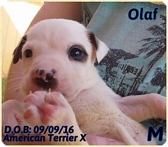 American Pit Bull Terrier Mix Puppy for adoption in DeForest, Wisconsin - Olaf