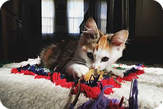 Calico Kitten for adoption in Brooklyn, New York - Pepperoni