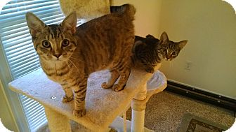 Domestic Shorthair Kitten for adoption in Richmond, Virginia - Jennifer and Paul