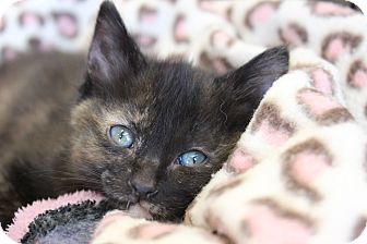 Domestic Shorthair Kitten for adoption in Wichita Falls, Texas - Hannah