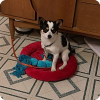 Jack Russell Terrier/Chihuahua Mix Dog for adoption in Visalia, California - Toby