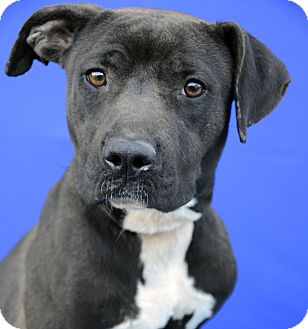 Pit Bull Terrier Mix Dog for adoption in LAFAYETTE, Louisiana - SABINE