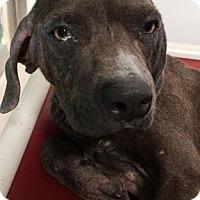 Adopt A Pet :: Nestor - Bryan, TX