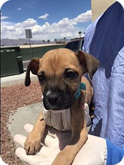 Boxer/Pit Bull Terrier Mix Puppy for adoption in Las Vegas, Nevada - ASH