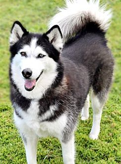 Siberian Husky Dog for adoption in Jupiter, Florida - Moonlight