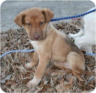Australian Shepherd Mix Puppy for adoption in kennebunkport, Maine - Sandy-ADOPTED!