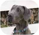 Great Dane Dog for adoption in Pearl River, New York - GABBY