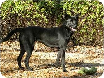 Labrador Retriever/Shepherd (Unknown Type) Mix Dog for adoption in Hagerstown, Maryland - PRISCILLA