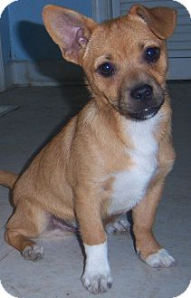 Pug/Terrier (Unknown Type, Small) Mix Puppy for adoption in Richmond, Virginia - Louie