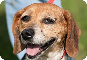Beagle Mix Dog for adoption in Scotland Neck, North Carolina - Annie