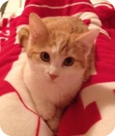 Domestic Shorthair Cat for adoption in West Des Moines, Iowa - Artie