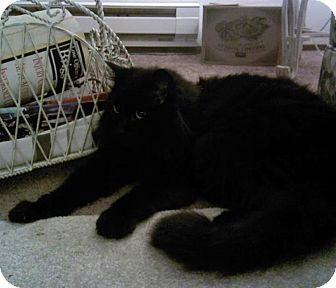 Domestic Mediumhair Cat for adoption in Tacoma, Washington - NALA