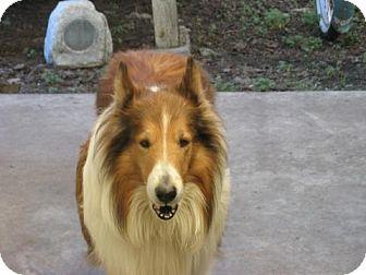 Collie Dog for adoption in Trabuco Canyon, California - Brutus