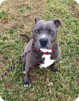 American Staffordshire Terrier Mix Dog for adoption in Baxter, Tennessee - Phantom