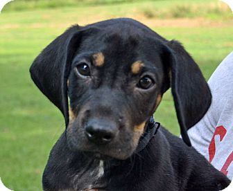 Treeing Walker Coonhound Mix Dog for adoption in Searcy, Arkansas - Chopper