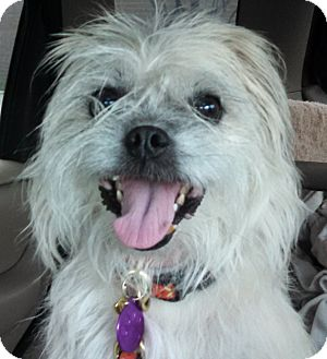 Cairn Terrier Mix Dog for adoption in Chicago, Illinois - Ethan