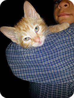 Domestic Shorthair Kitten for adoption in Fairborn, Ohio - Sammy