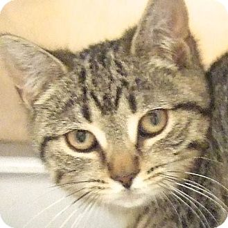 Domestic Shorthair Kitten for adoption in Sprakers, New York - Jessie