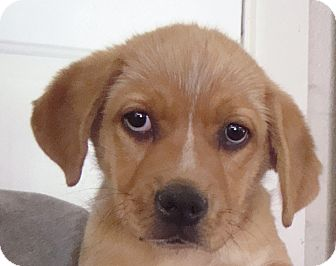 Golden Retriever/Shepherd (Unknown Type) Mix Puppy for adoption in Old Bridge, New Jersey - Flynn