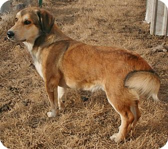 Shepherd (Unknown Type)/Corgi Mix Dog for adoption in Pilot Point, Texas - GUS