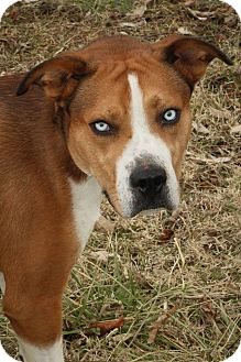 Boxer/Shepherd (Unknown Type) Mix Dog for adoption in Anderson, Indiana - Sinatra