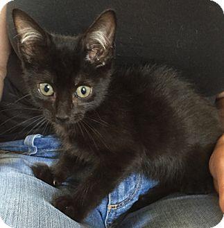 Domestic Shorthair Kitten for adoption in San Diego, California - BANJO