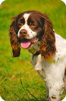 Cavalier King Charles Spaniel Mix Dog for adoption in Pawleys Island, South Carolina - Sammy