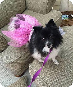 Pomeranian Mix Dog for adoption in Fountain Valley, California - Suki