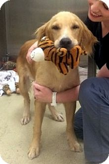 Golden Retriever Dog for adoption in New Canaan, Connecticut - Whisper