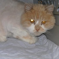 Persian Cat for adoption in Sparta, Wisconsin - Tigger
