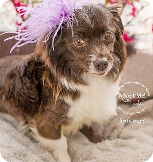 Japanese Chin/Chihuahua Mix Dog for adoption in Inland Empire, California - SNICKERS