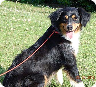 Australian Shepherd Puppy for adoption in Niagara Falls, New York - Bretta(38 lb) Awesome Dog!