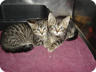 Domestic Shorthair Kitten for adoption in Island Heights, New Jersey - Shiloh and Shelby