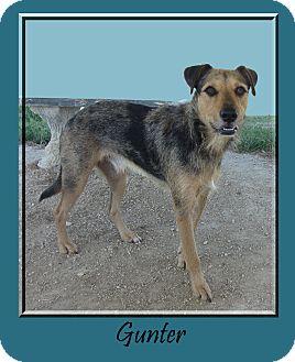 Catahoula Leopard Dog/Airedale Terrier Mix Dog for adoption in Hillsboro, Texas - Gunter