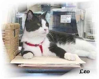 Domestic Shorthair Cat for adoption in Montgomery, Illinois - Leo