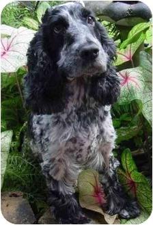 Cocker Spaniel Mix Dog for adoption in Sugarland, Texas - Nena