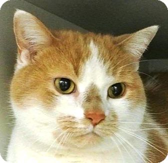 Domestic Shorthair Cat for adoption in Kalamazoo, Michigan - Dexter