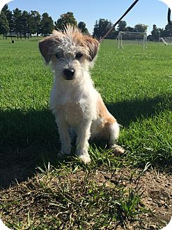 Jack Russell Terrier Mix Puppy for adoption in Coldwater, Michigan - Ralphie - IN TRAINING