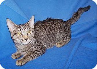 Domestic Shorthair Kitten for adoption in Colorado Springs, Colorado - K-Sasha5-Shawna