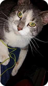 Domestic Shorthair Cat for adoption in St. Louis, Missouri - Harrison
