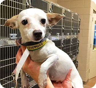 Chihuahua Mix Dog for adoption in Walden, New York - Pickles