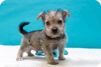 Schnauzer (Miniature)/Yorkie, Yorkshire Terrier Mix Puppy for adoption in Houston, Texas - Zola