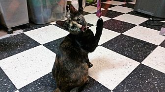 American Shorthair Kitten for adoption in Houston, Texas - Zoey