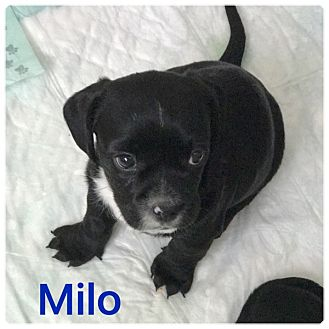 Dachshund/Chihuahua Mix Puppy for adoption in Palm Harbor, Florida - Milo