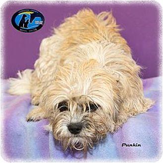 Shih Tzu/Poodle (Miniature) Mix Dog for adoption in Howell, Michigan - Punkin